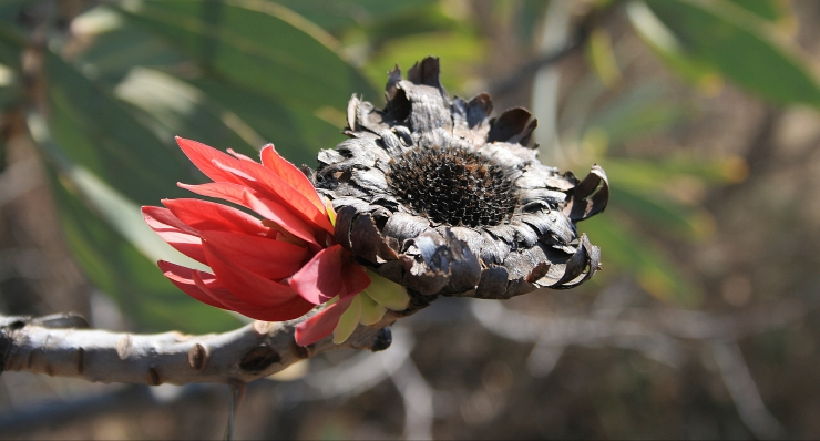 Protea Transformation New Life